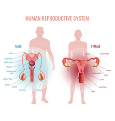 Reproductive system set vector