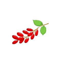 barberry berries fruits food from garden forest vector image