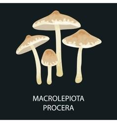 Macrolepiota procera isolated wild foraged vector
