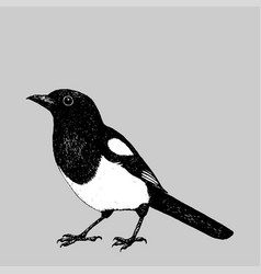Magpie pen drawing vector