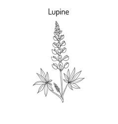 lupine lupinus perennis vector image