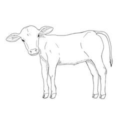 Sketch calf hand drawn vector