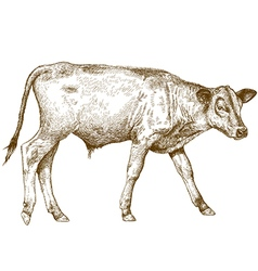 Engraving calf vector