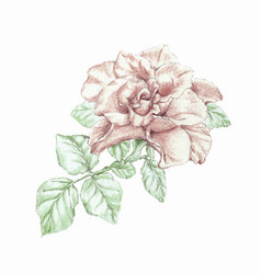 hand drawn pencils rose vector image