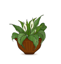 Pot with potted flowers anthurium isolated on vector