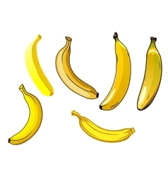 Fresh ripe yellow banana fruits vector image