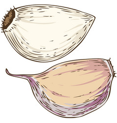 garlic cloves vector image