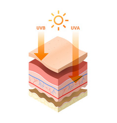 Uvb uva rays from sun penetrate into epidermis of vector