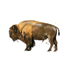 bison buffalo from a splash watercolor vector image