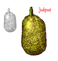fresh jackfruit design vector image
