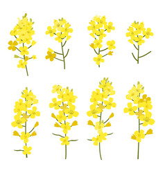 rapeseed flowers set isolated on white background vector image