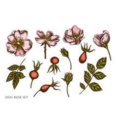 set hand drawn colored dog rose vector image