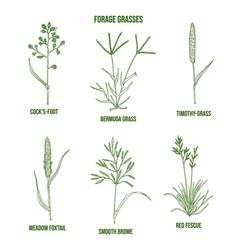 Forage grasses set vector