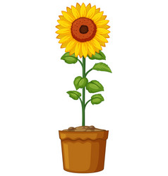 Sunflower in clay pot vector