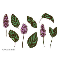 set hand drawn colored peppermint vector image