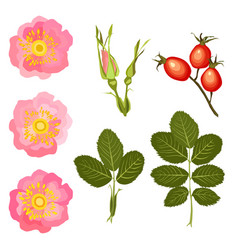 flowers buds and leaves wild rose vector image