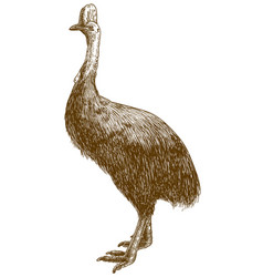 engraving drawing of cassowary ostrich vector image