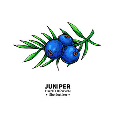 Juniper drawing isolated vintage vector