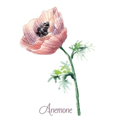 Delicate watercolor anemone vector image