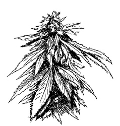 Hand sketch of marijuana vector