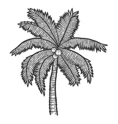 Exotic palm tree with coconuts sketch scratch vector