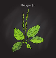 great plantain plantago major - medicinal plant vector image