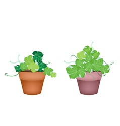 Two Polyscias Leaves in Ceramic Flower Pots vector image