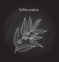 hand drawn coffee tree branch vector image