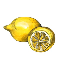 Hand drawn watercolor lemon sketch with ink vector image