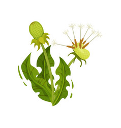 Dandelion with two heads and green leaves vector