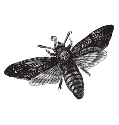Death head hawkmoth vintage vector