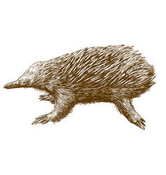 Engraving drawing of echidna vector