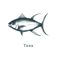 tuna fish sketch in drawn vector image