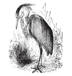 Grey heron vintage vector