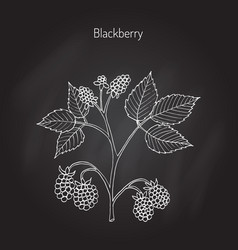 blackberry garden plant vector image