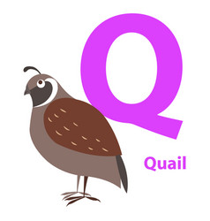 Brown quail on alphabet card with letter q flat vector