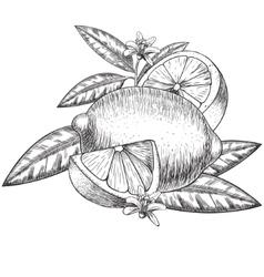 Hand drawn lime or lemon Whole sliced vector