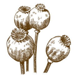 engraving of four poppy pod vector image