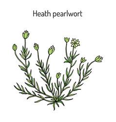 Heath pearlwor sagina subulata vector