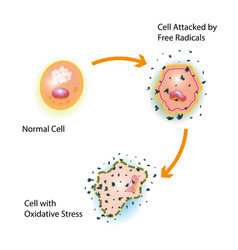 Cell oxidative stress vector