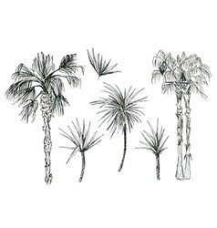 Coconut palms or queen palmae with leaves vector