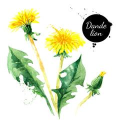 hand drawn watercolor dandelion flower painted vector image