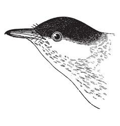 Black poll warbler vintage vector