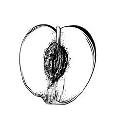 hand drawn sketch half peach in black color vector image