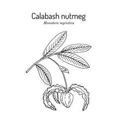 Calabash nutmeg monodora myristica medicinal vector
