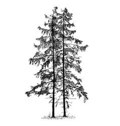 Cartoon drawing spruce conifer tree vector