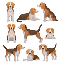 Flat set of beagle dog in different poses vector