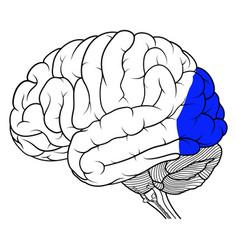 Occipital lobe of human brain anatomy side view vector