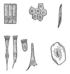 Various kinds epithelial cells vintage vector