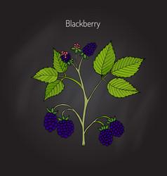 blackberry garden plant vector image